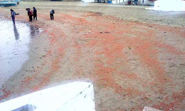 Pescadores aclaran que mar de Pucusana no varó langostinos
