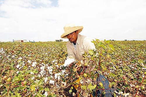 Empresarios  apoyarán la Cadena Nacional de Algodón